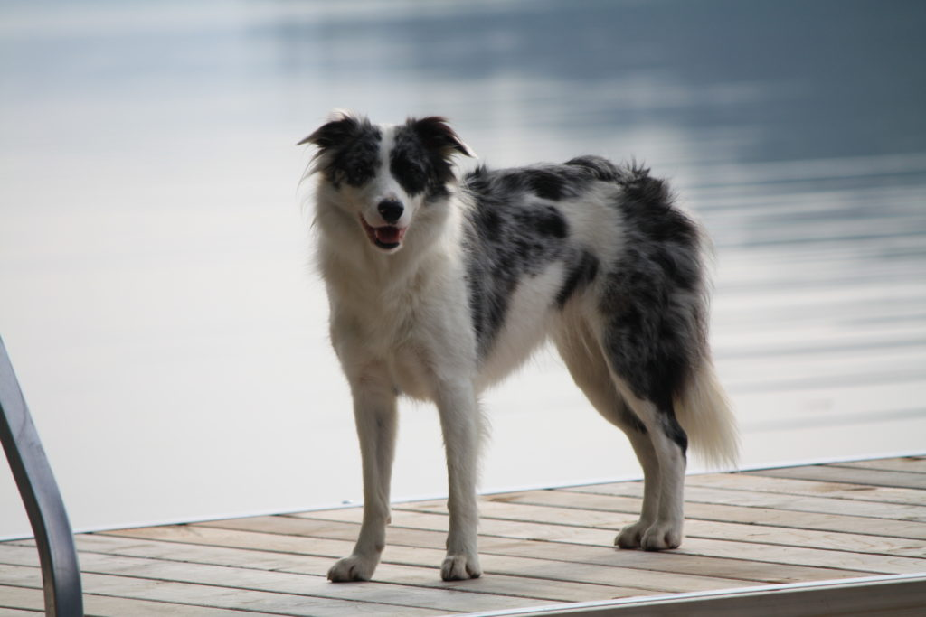 purebred blue merle border collie. Counting Sheep Kennels