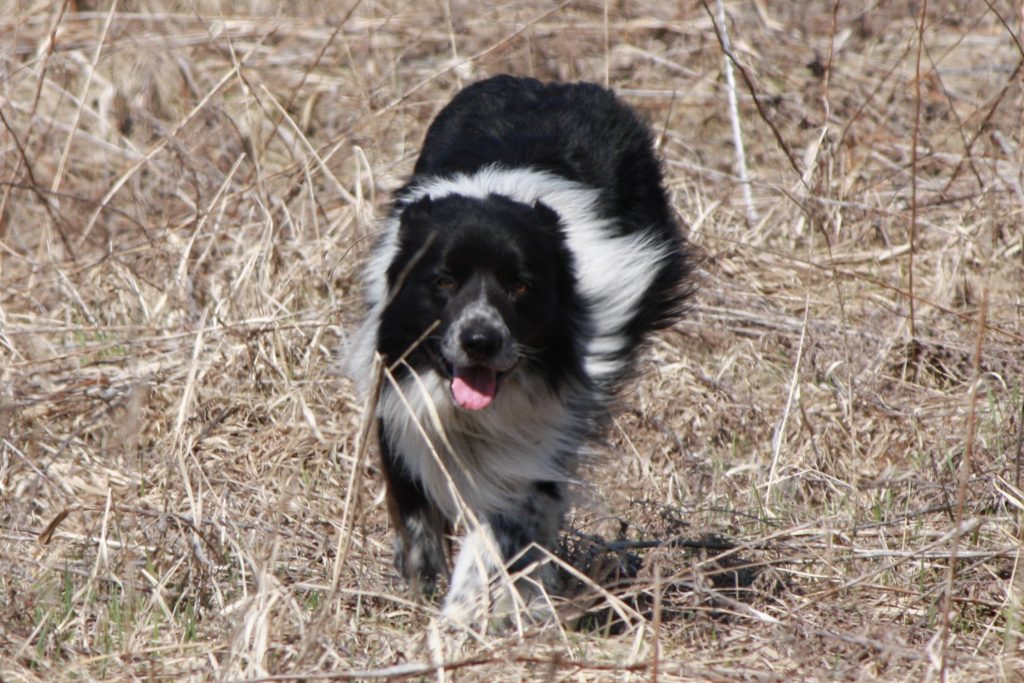 Black and White purebred border collie stud. Counting Sheep Kennels