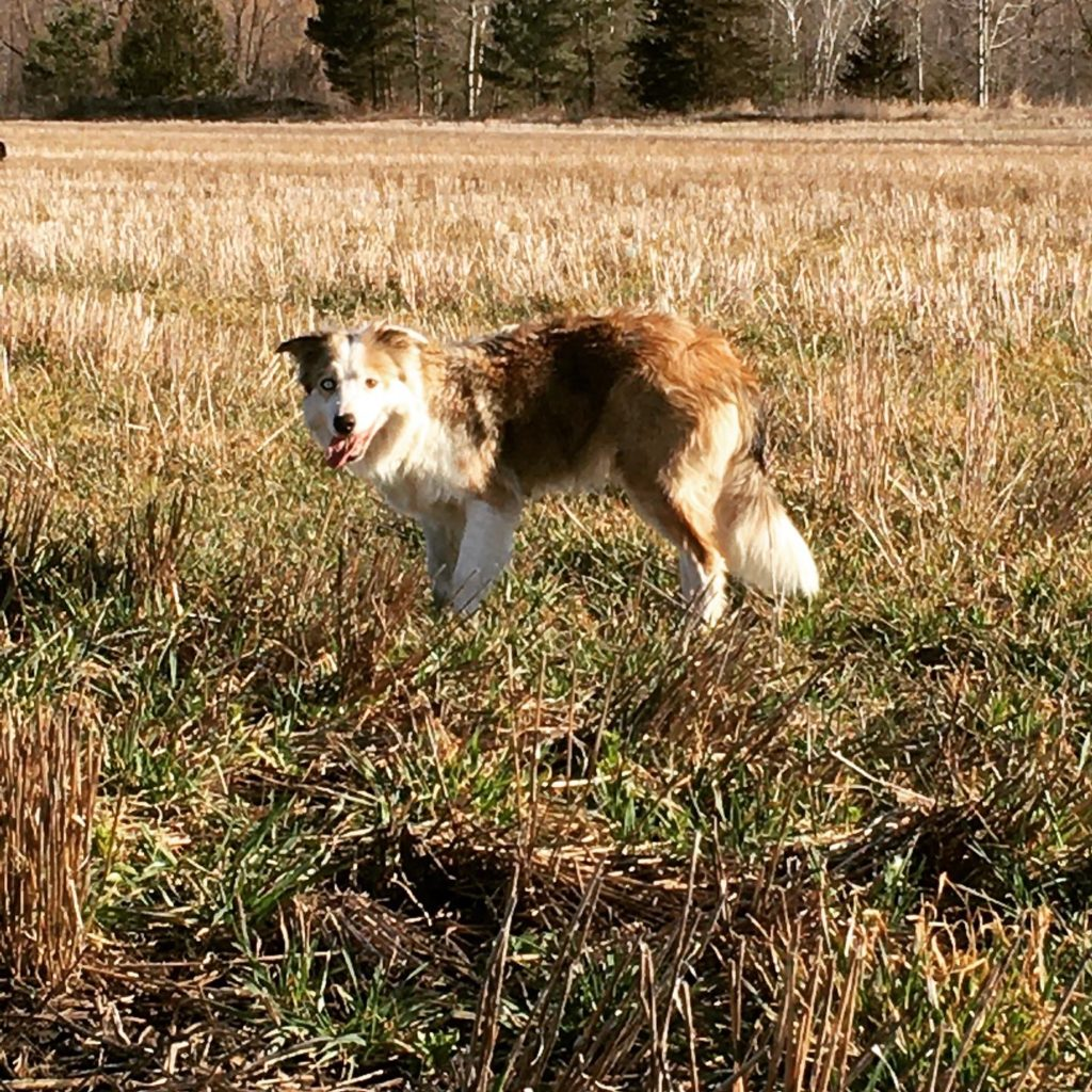 Breeding Border collie of Counting Sheep Kennels. Purebred, papered, sable merle border collie